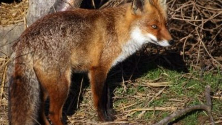 Jesienna akcja szczepienia lisów wolno żyjących przeciwko wściekliźnie