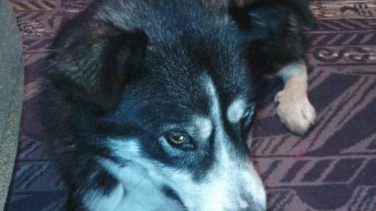 Zbłąkany pies w Lubatówce