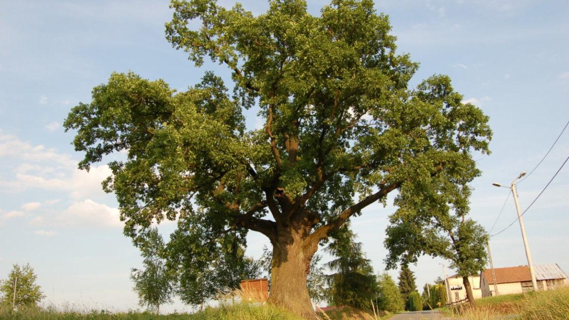 Drzewo Roku