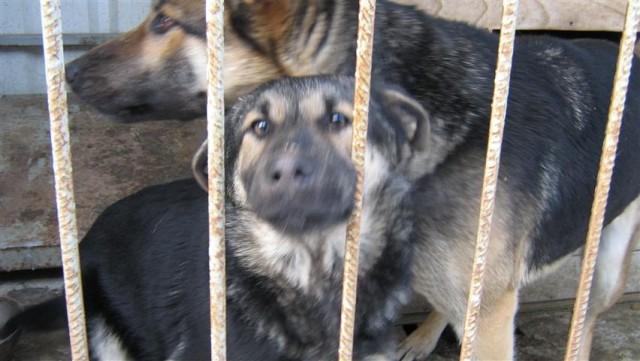 Znaleziono dwa psy rasy owczarek niemiecki