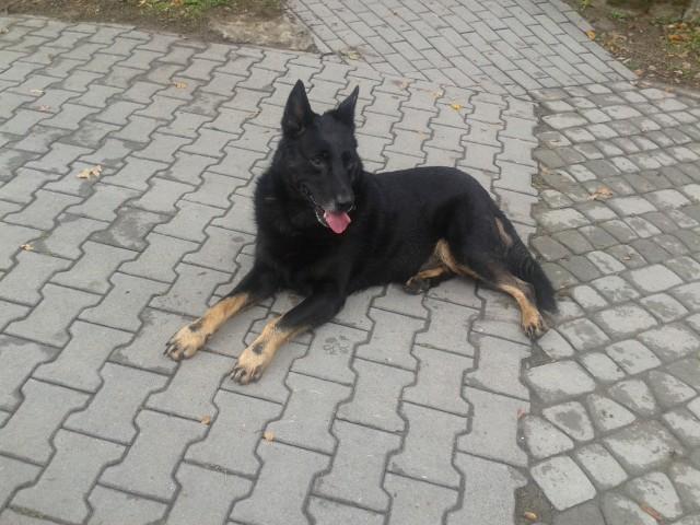 Znaleziono psa rasy owczarek niemiecki