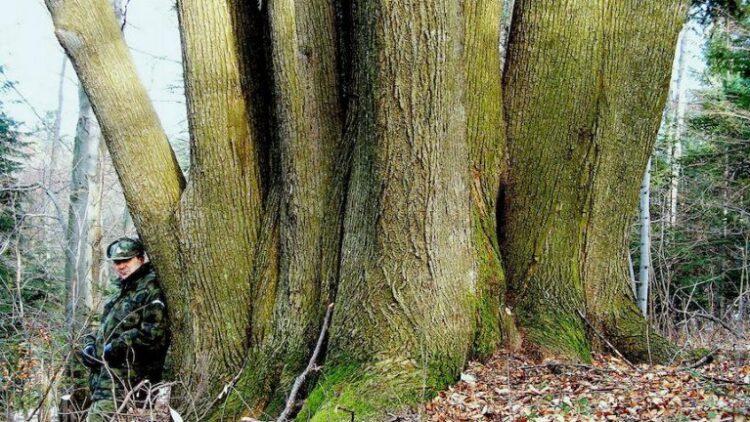 Iwonicka Hydra. Niezwykła lipa z iwonickiego lasu